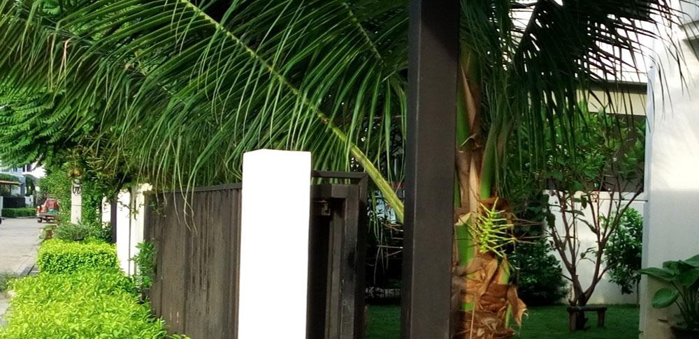 ปลูกมะพร้าวริมรั้วบ้าน