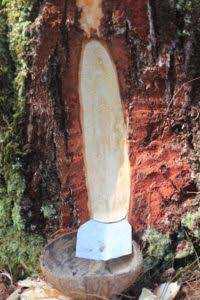 Harga Getah Pohon Pinus Diperkirakan Menanjak Naik Hingga Rp 25.000 Per Kg