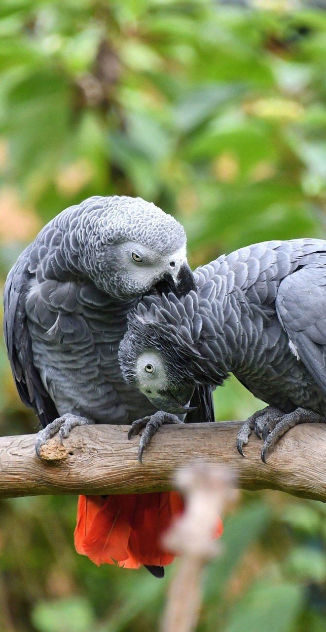 Cute pair of grey parrots.