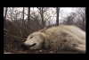 Meet The World's Laziest Wolf, His Howl Will Leave You Rolling In Laughter