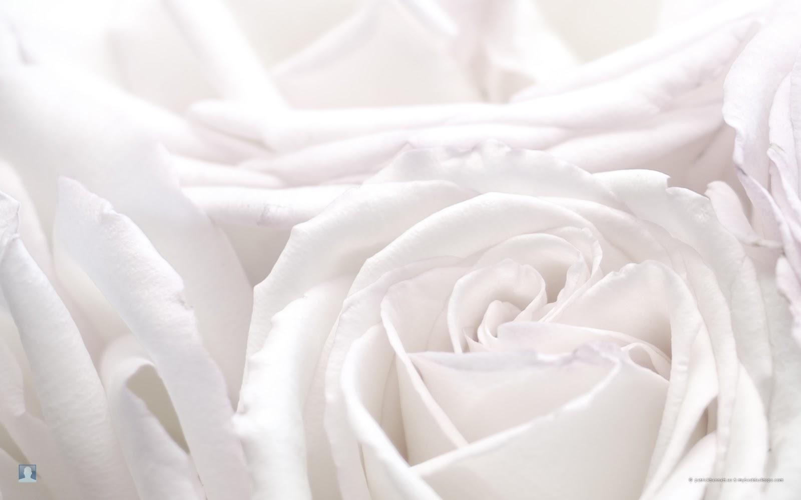 White Rose Flowers Wallpapers: Tes Konsentrasi