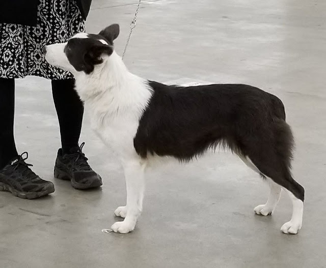 Blue border collie with smooth coat