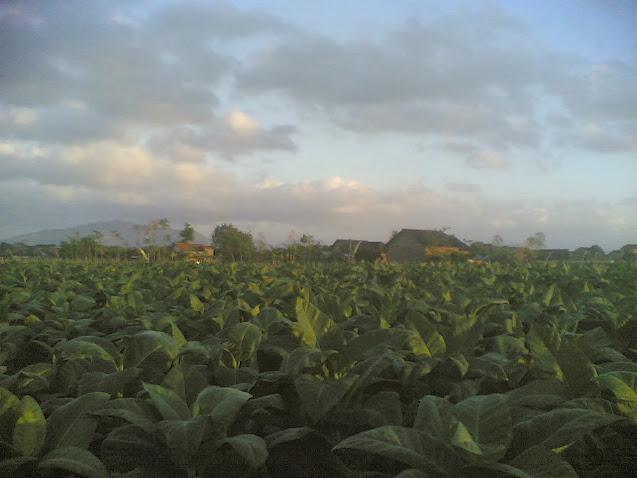 Tembakau Desa Gempolan Kecamatan Pakel Kabupaten Tulungagung