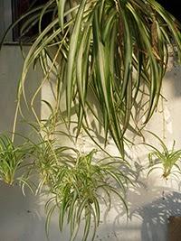 Spider Plant or Chlorophytuma