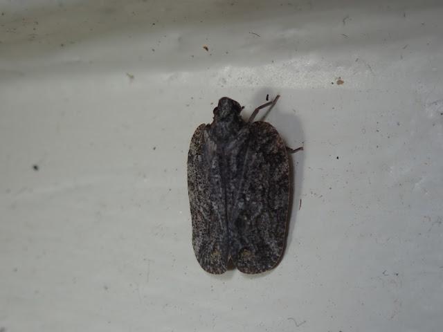 Flatoidinae
