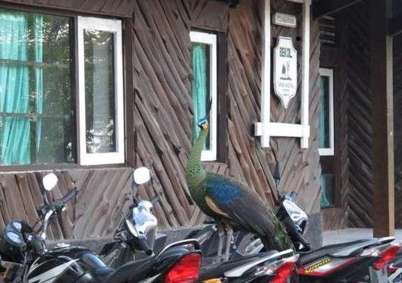 Burung merak di Bekol, Baluran.