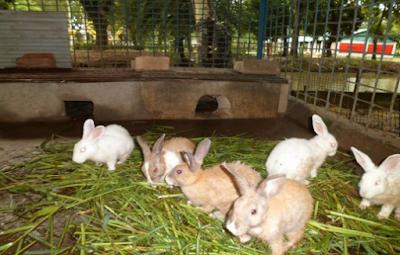 membuat kandang kelinci yang baik dan sehat