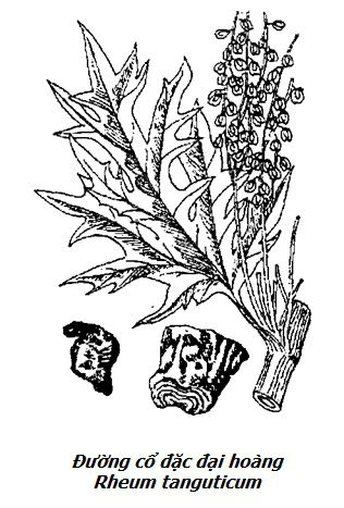 Hình vẽ Đường cổ đặc đại hoàng - Rheum tanguticum - Nguyên liệu làm thuốc Nhuận Tràng và Tẩy