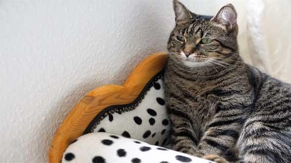 what is feline fip