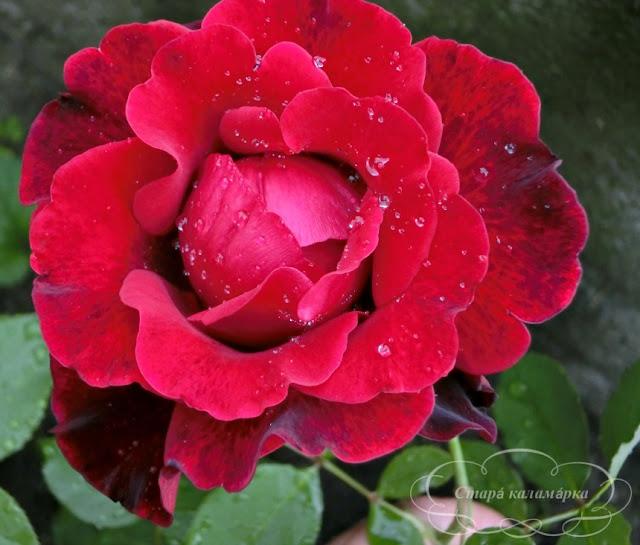 роза Don Juan, розарий, сочетания роз, розы фото, розы в саду, цветники с розами