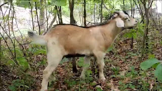 Kiko Goat Origin, Facts, Weight, Size, Lifespan