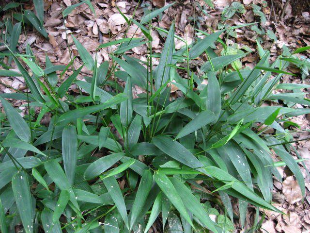 Đạm Trúc Diệp - Lophatherum gracile - Nguyên liệu làm thuốc Chữa Cảm Sốt