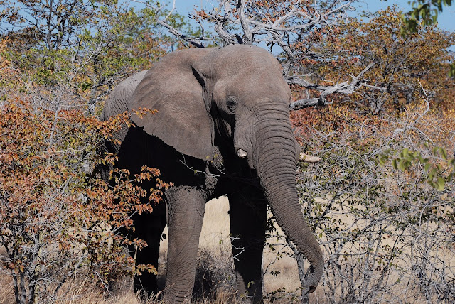 éléphant dans le parc d'Etosha