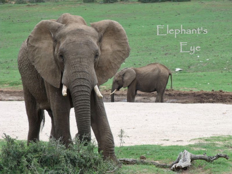 Elephants at waterhole in Addo