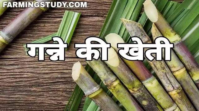 गन्ने की खेती कैसे करें? | ganne ki kheti kaise kare, भारत में शरदकालीन, बसंतकालीन एवं बिनौर गन्ने की खेती कैसे की जाती है, गन्ने की खेती कहां होती है