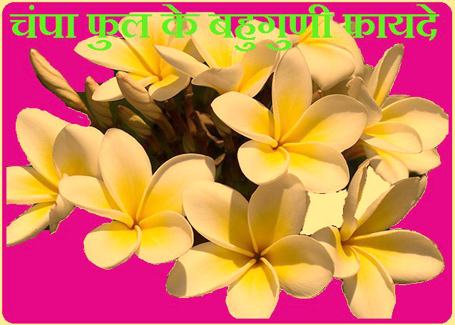 Benefits of Champa Flowers