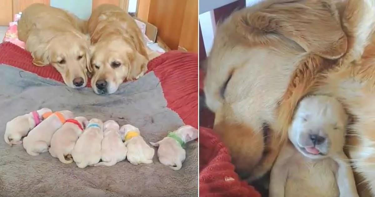 Amazing Video Shows Golden Retrievers Watching Over Their Newborn Puppies