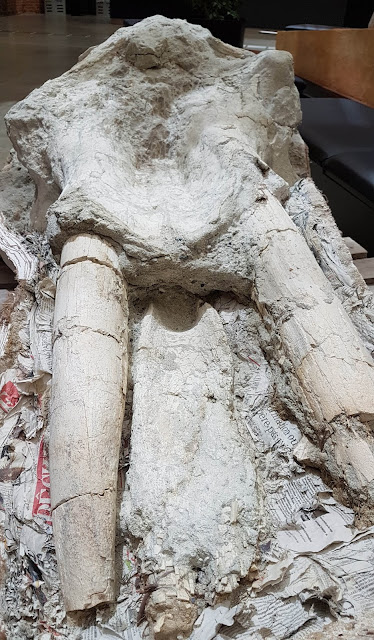 Pyrenean mastodon skull unveiled in France