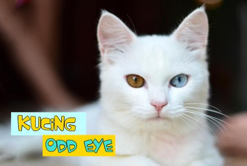 Penyebab Odd Eye Kucing