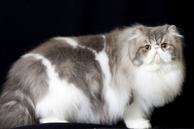 foldex %2Bpets%2Babs - Four Breed of Cats that are Uniquely Cаnаdіаn