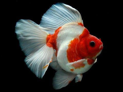 Ikan Yang Bisa Di Campur Dengan Ikan Mas Koki Lovedfish