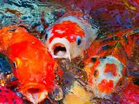 Ini 3 Perbedaan Ikan Koi Jantan dan Betina