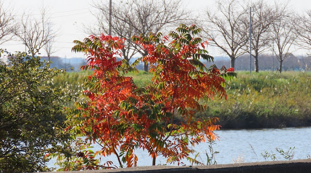 新利根川べりにポツンと見つけた紅葉