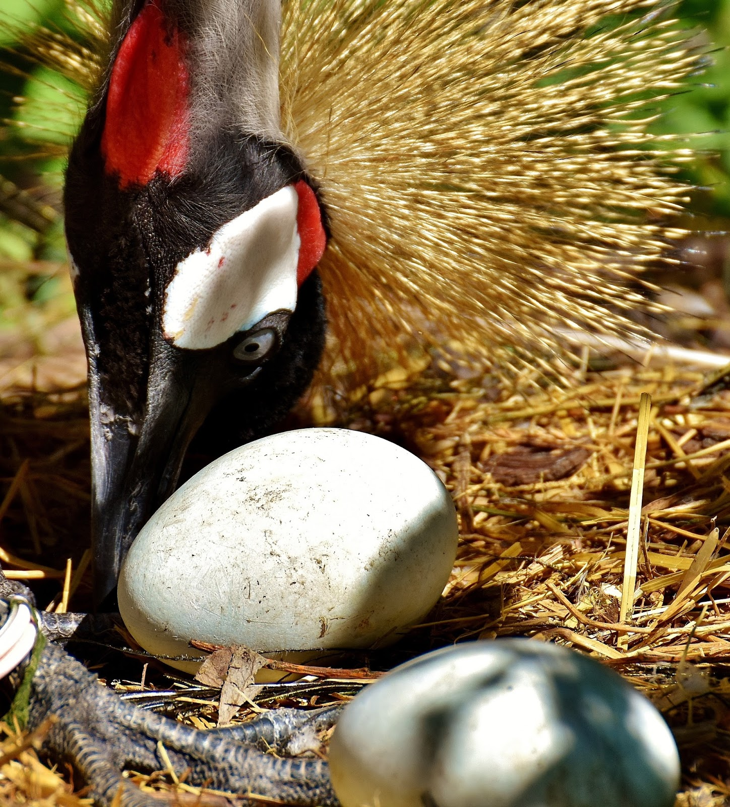 A crowned crane eggs.