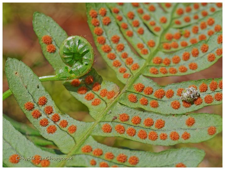 paprotka zwyczajna Polypodium vulgare zarodnie