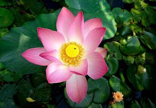 Flor-rosa-do-Nelumbo-nucifera-o-lotus-sagrado-da-Índia
