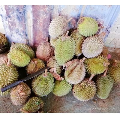 makan durian di batu kurau, durian batu kurau, mandi sungai di batu kurau,