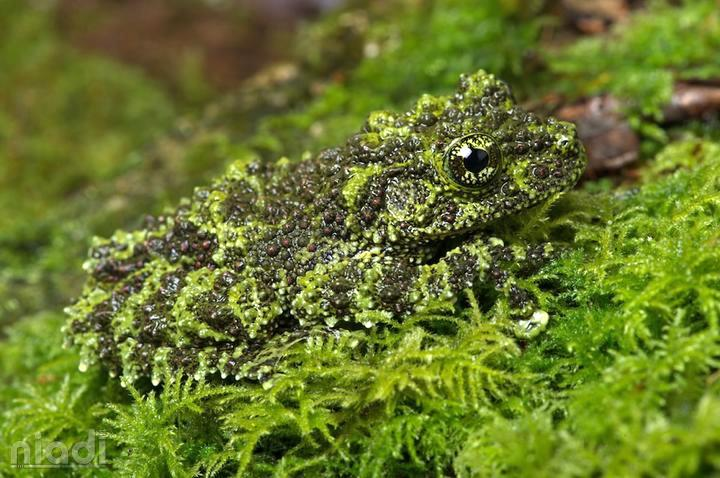 Vietnamese Mossy Frog si hewan yang bisa menyamar