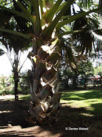 Talipot palm tree, Foster Botanical Garden - Honolulu, HI