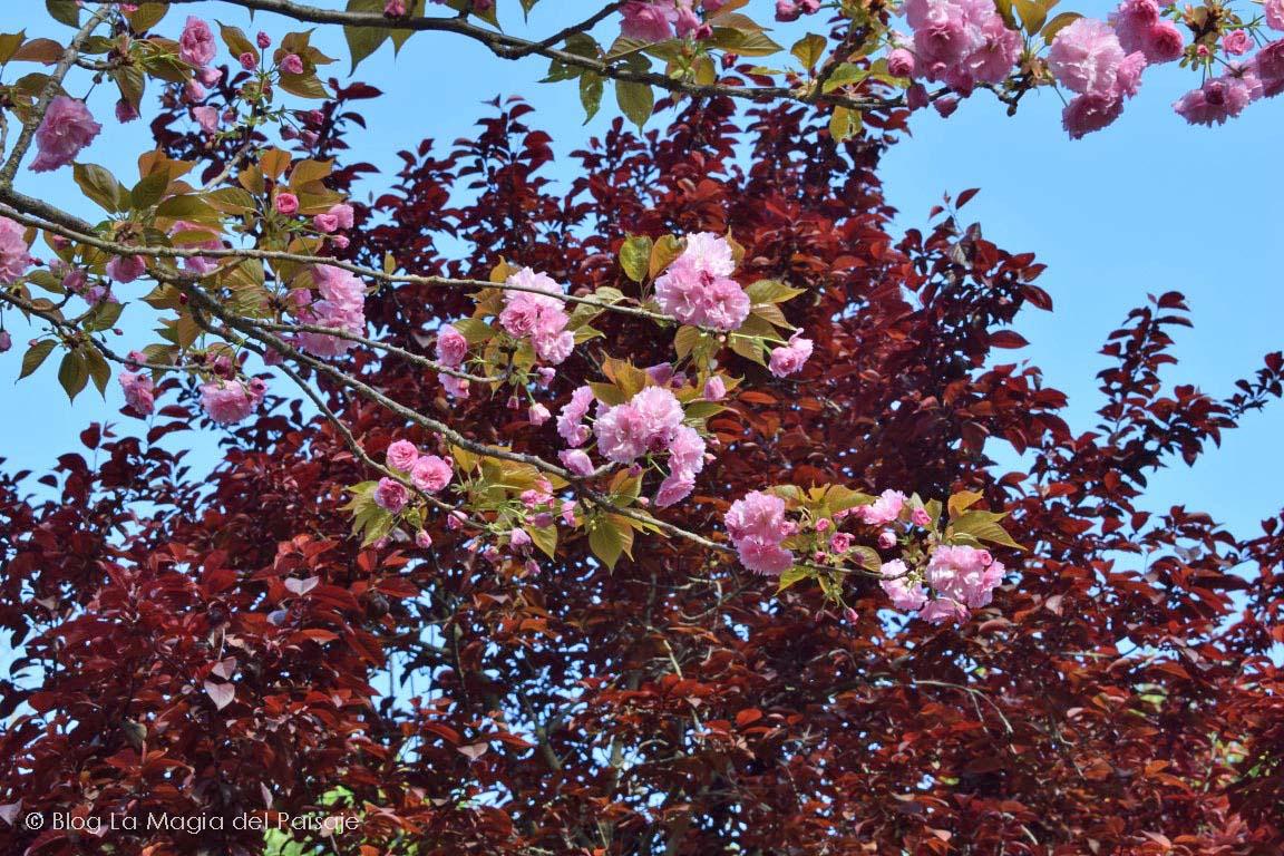 """Prunus serrulata """"Kanzan"""", Cerezo de flor, Jardines japoneses, Árboles de flor, Paisajistas en Badajoz, Paisajistas en Cáceres, Paisajistas en Extremadura, Paisajistas en España"""