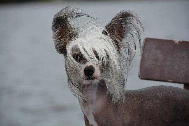 races-de-chiens-sans-poils