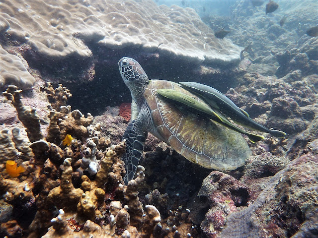 Photo of the endangered green turtle, diving Hat Nai Yang, Phuket