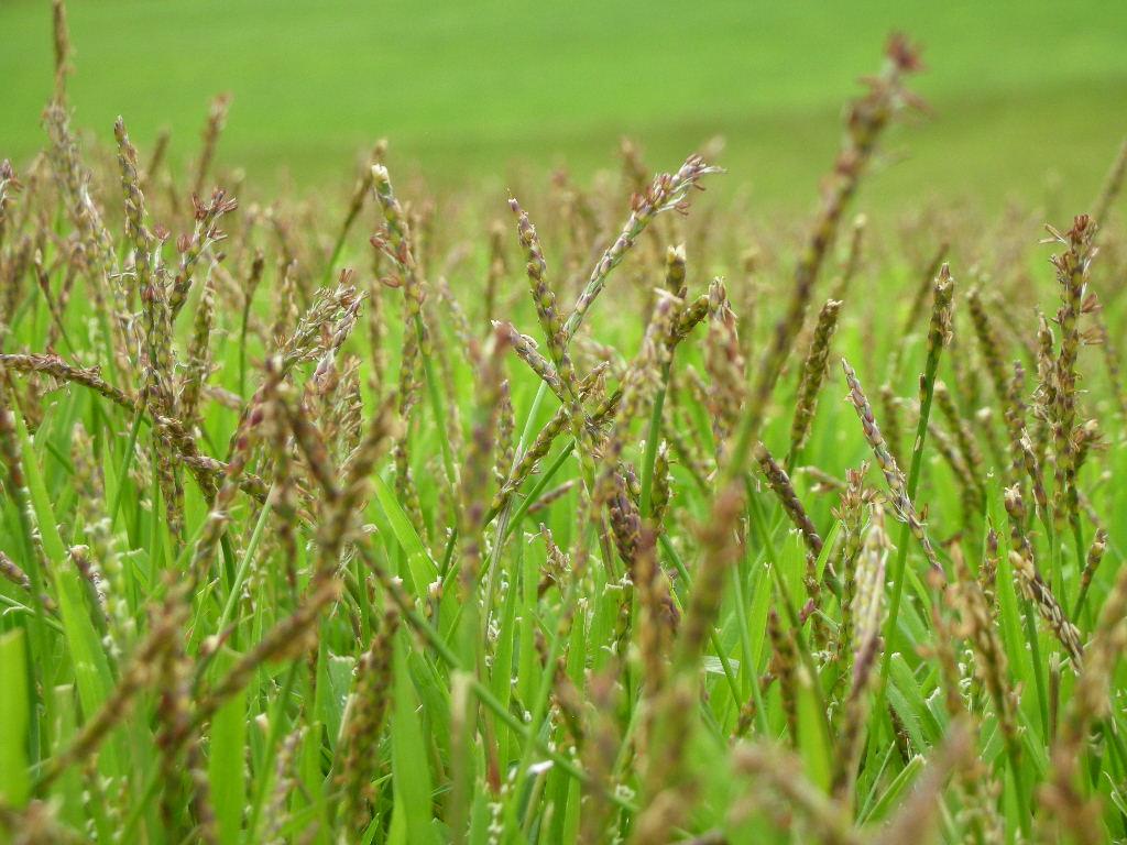 Course Diary: 野芝の花