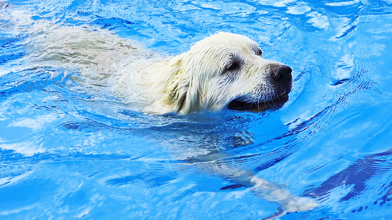 Non, tous les chiens ne sont pas nés en sachant nager !