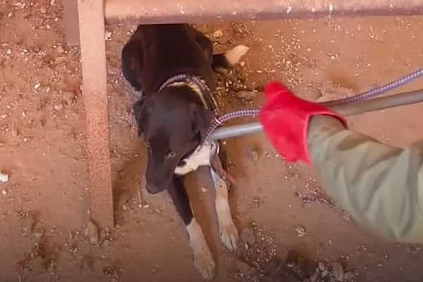 Male Complies With A Stray To Abandoned Structure, Sees Dogs Chained Up Throughout