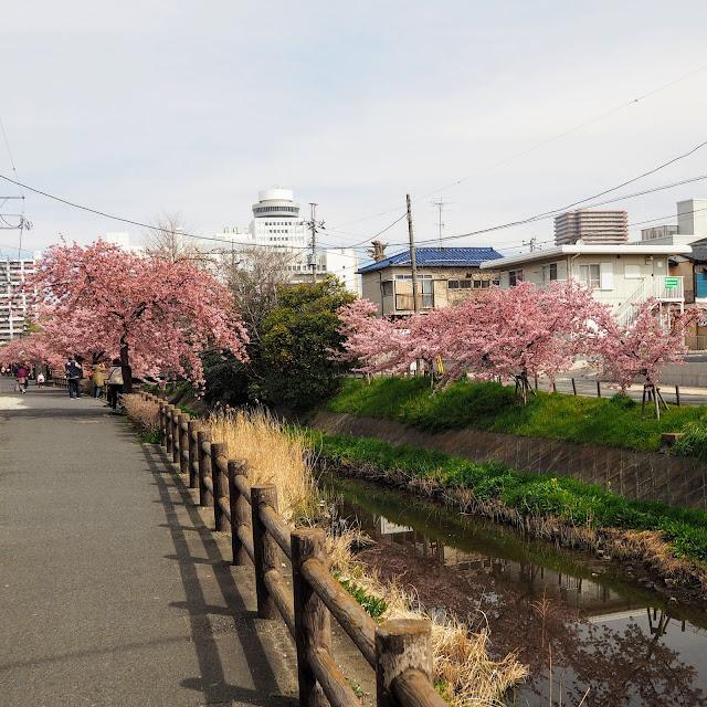 松戸 坂川 河津桜