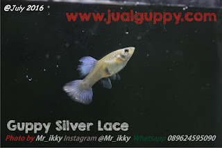 Jual Guppy Silver Lace,  Harga Guppy Silver Lace,  Toko Guppy Silver Lace,  Diskon Guppy Silver Lace,  Beli Guppy Silver Lace,  Review Guppy Silver Lace,  Promo Guppy Silver Lace,  Spesifikasi Guppy Silver Lace,  Guppy Silver Lace Murah,  Guppy Silver Lace Asli,  Guppy Silver Lace Original,  Guppy Silver Lace Jakarta,  Jenis Guppy Silver Lace,  Budidaya Guppy Silver Lace,  Peternak Guppy Silver Lace,  Cara Merawat Guppy Silver Lace,  Tips Merawat Guppy Silver Lace,  Bagaimana cara merawat Guppy Silver Lace,  Bagaimana mengobati Guppy Silver Lace,  Ciri-Ciri Hamil Guppy Silver Lace,  Kandang Guppy Silver Lace,  Ternak Guppy Silver Lace,  Makanan Guppy Silver Lace,  Guppy Silver Lace Termahal,  Adopsi Guppy Silver Lace,  Jual Cepat Guppy Silver Lace,  Kreatif Guppy Silver Lace,  Desain Guppy Silver Lace,  Order Guppy Silver Lace,  Kado Guppy Silver Lace,  Cara Buat Guppy Silver Lace,  Pesan Guppy Silver Lace,  Wisuda Guppy Silver Lace,  Ultah Guppy Silver Lace,  Nikah Guppy Silver Lace,  Wedding Guppy Silver Lace,  Flanel Guppy Silver Lace,  Special Guppy Silver Lace,  Suprise Guppy Silver Lace,  Anniversary Guppy Silver Lace,  Moment Guppy Silver Lace,  Istimewa  Guppy Silver Lace,  Kasih Sayang  Guppy Silver Lace,  Valentine  Guppy Silver Lace,  Tersayang Guppy Silver Lace,  Unik Guppy Silver Lace,