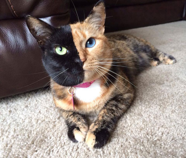 Venus The Two-faced Kitten