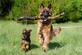 صور كلاب جيرمن شيبرد شرسة