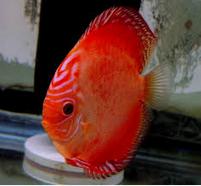discus 7 Besar Ikan Hias Paling Populer Di Indonesia