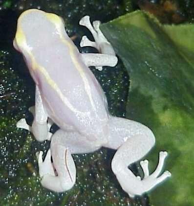 Tree Frog | A-Z List of 125 Rare Albino Animals [Pics]