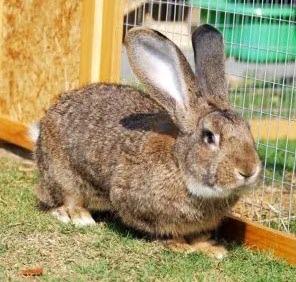 Flemish breed of rabbit