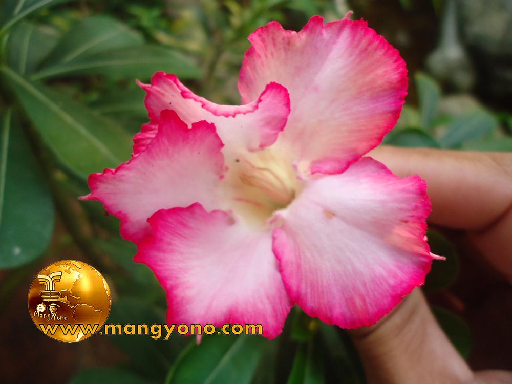 Download 68+ Gambar Bunga Kamboja Merah Pink Gratis Terbaik
