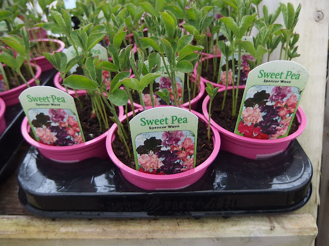 Potted sweet peas