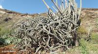 Rathbunia alamosensis 'spaghetti' cactus - Koko Crater Botanical Garden, Oahu, HI