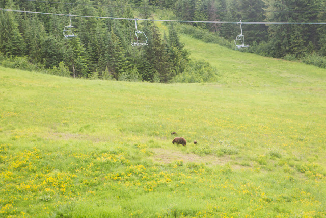 Grizzly bear with two cubs on the gondola